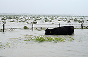 A cow struggles to keep its head above floodwaters during Hurricane Harvey near Fulton, Texas August 26, 2017. REUTERS/Rick Wilking