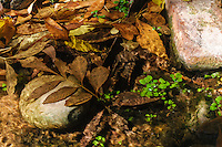 Rocks, Fallen leaves and aquatic vegetation in a mountain spring; Zion National Park, UT