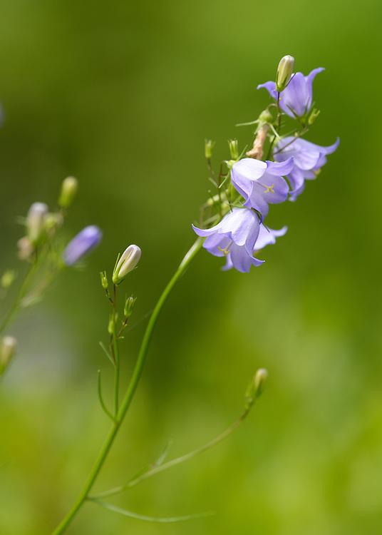 Creeping Bellflower (Campanula rapunculoides), Wild Gardens of Acadia, Acadia National Park, Maine