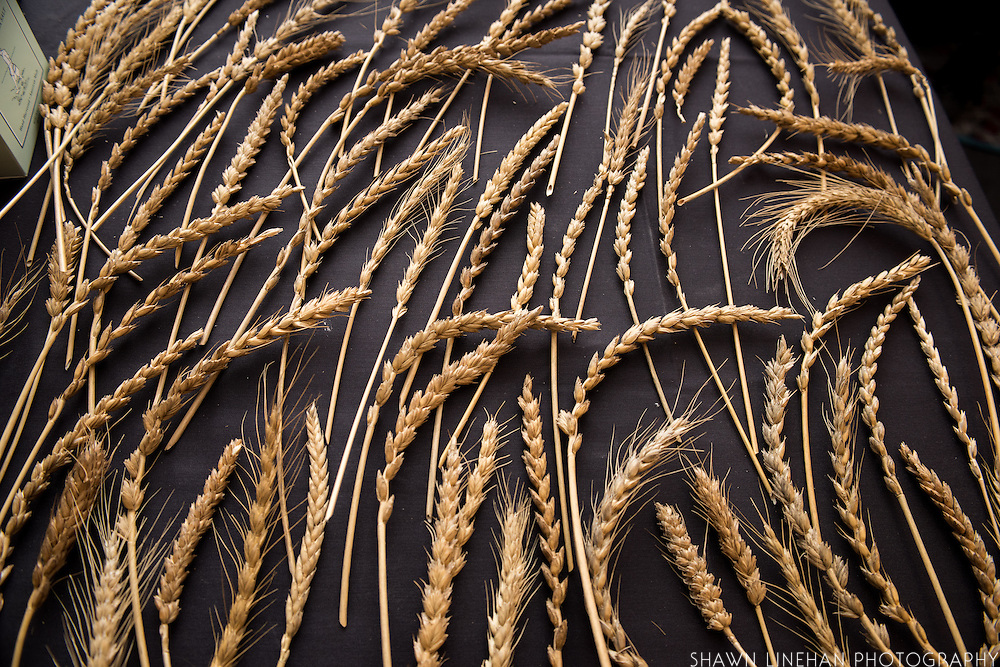 WHEAT, Triticum spp.<br />