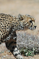 Cheetah on the hunt, Namibia, Africa. Fine art photography prints, wildlife and nature photography, wall art, stock image.