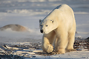 Polar Bear: Ursus maritimus, near Churchill, Canada.  Polar bears gather in Churchill as they wait for the Hudson Bay ice to freeze. The ice near shore was nearly frozen and some polar bears had departed for the ice.  This bear decided to give it a little more time.  It had been laying down on a clear afternoon; however the robust winds and blowing snow seemed to make him a little restless in the unsheltered location.  After a short time it moved in our general direction allow me to capture it walking in the beautiful afternoon light.