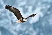 Bald Eagle soars over Chilkat River, Chilkat Bald Eagle Preserve, Haines, Alaska