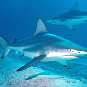 Blacktip Shark cruise over shallow reefs and sand flats in Tropical West Atlantic; picture taken Walker's Cay, Bahamas.
