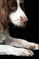 English Springer Spaniel close-up