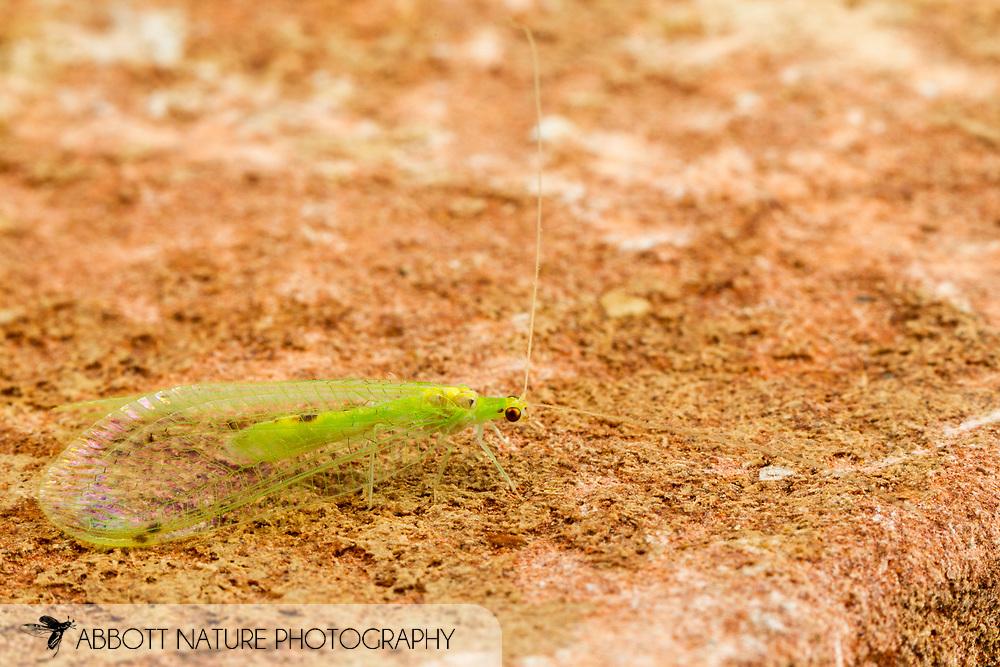 Green Lacewings (Leucochrysa insularis)<br /> United States: Alabama: Tuscaloosa Co.<br /> Tulip Tree Springs off Echola Rd.; Elrod<br /> 7-Jun-2016<br /> J.C. Abbott #2827 &amp; K.K. Abbott
