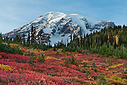 Huckleberry bushes turn red in fall at Paradise, Mount Rainier National Park, Washington, USA. October 12, 2010