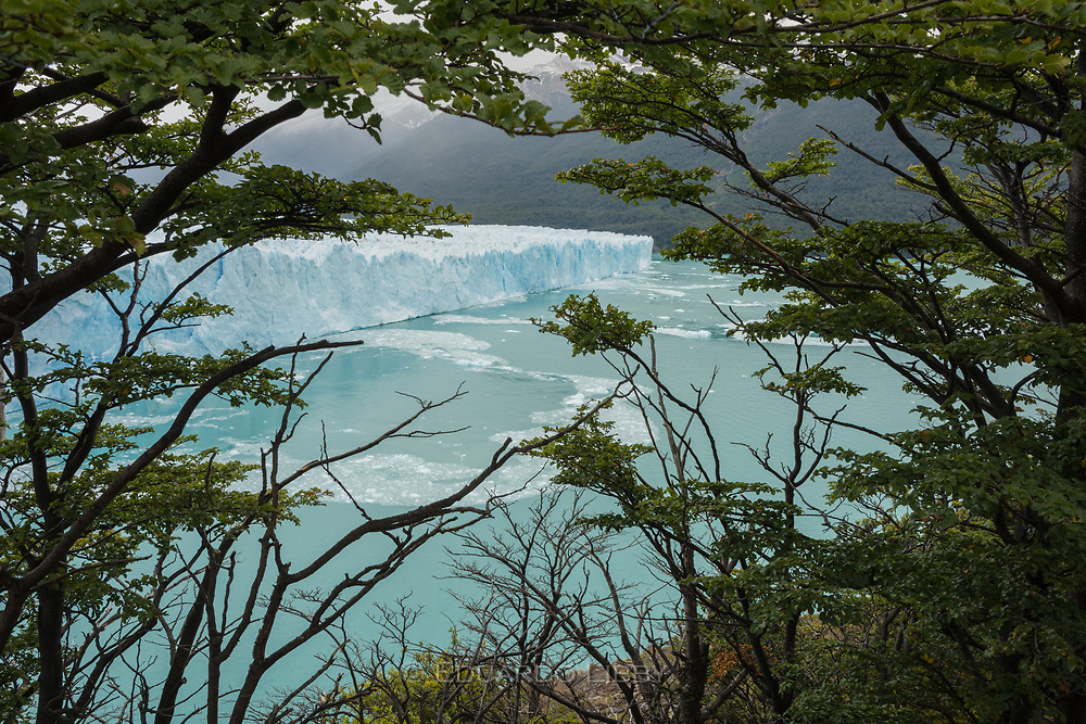 Perito Moreno Glacier seen through Lenga trees of the deciduous southern beech forest in Los Glaciares National Park.