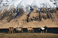 Horses near Skogfoss, Iceland