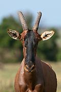 Topi (Damaliscus lunatus), Masai Mara, Kenya.
