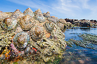 Limpets growing on the intertidal platforms at Namaqua National Park. Northern Cape. South AFrica