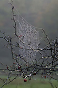 dewy spider web on bare branches