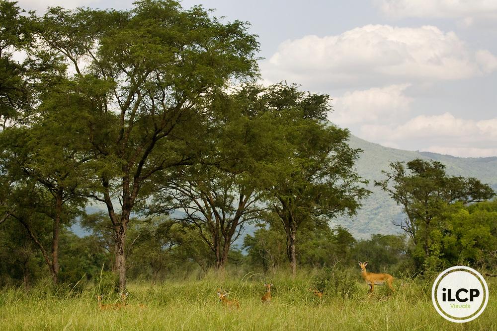 Kob (Kobus kob) male bachelor herd in mixed woodland savanna, Toro-Semliki Wildlife Reserve, Western Rift Valley, Great Rift Valley, western Uganda