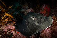 Dasyatis brevicaudata (Short-tailed Stingray)