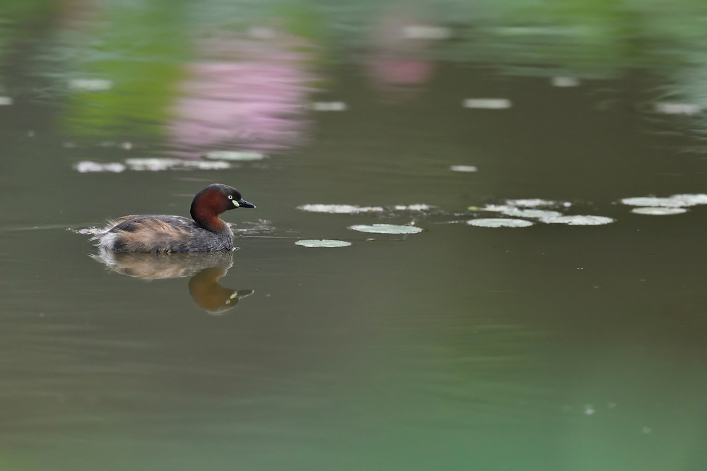 Little Grebe or Dabchick, Tachybaptus ruficollis, swimming ina lake in East Lake Greenway park, Wuhan, Hubei, China