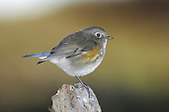Red-flanked Bluetail - Tarsiger cyanurus