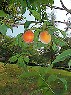 Peach Tree on Peachtree Rd