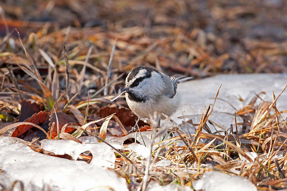 A Mountain Chickadee forages on the ground and gathers a piece of ice all the water in the area is frozen could this be a way of getting water.