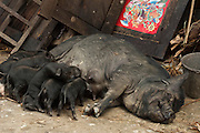 Domestic pig with piglets in Hani village. Yuanyang. Yunnan Province. CHINA