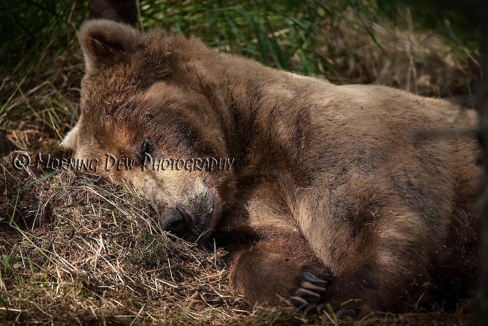 An Alaskan brown bear naps in the shade on a warm July afternoon at Brooks Falls, Katmai National Park, Alaska