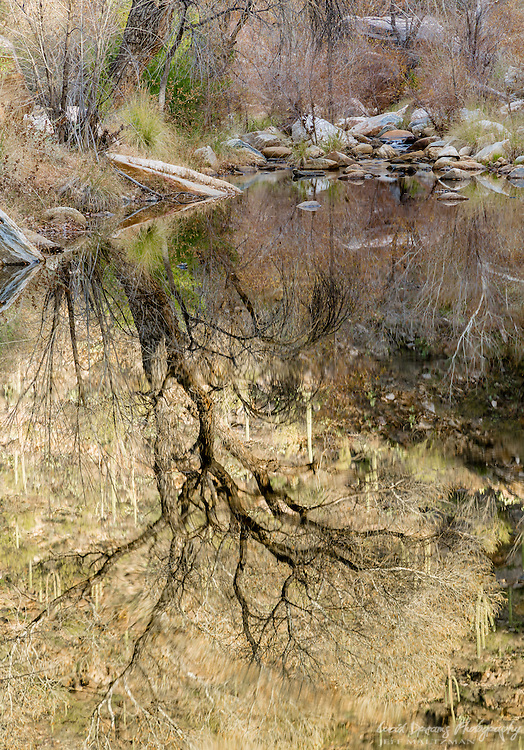 A bare cottonwood against a saguaro-studded hillside reflected in Sabino Creek in Tucson, Arizona.