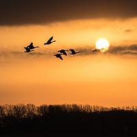 Geese fly across the rising sun
