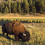 Grazing Bison in Yellowstone