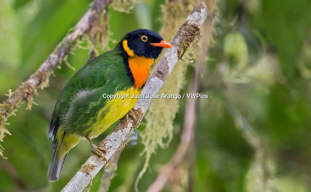 """Orange-breasted Fruiteater. Mistrato, Colombia. """"This bird has been called a peace bird,"""" said photographer Juan Jose Arango. """"I went to find this little bird to a place where once, recently, prevailed FARC violence, kidnapping, extortion and all kinds of atrocities. And a few weeks ago I visited the place, even though we were only under a cease prior to the signing of the peace agreements. I was able to smell the scent of peace, saw peasants in their normal work and children going hand in their schools, in blue uniforms... and I felt good."""""""