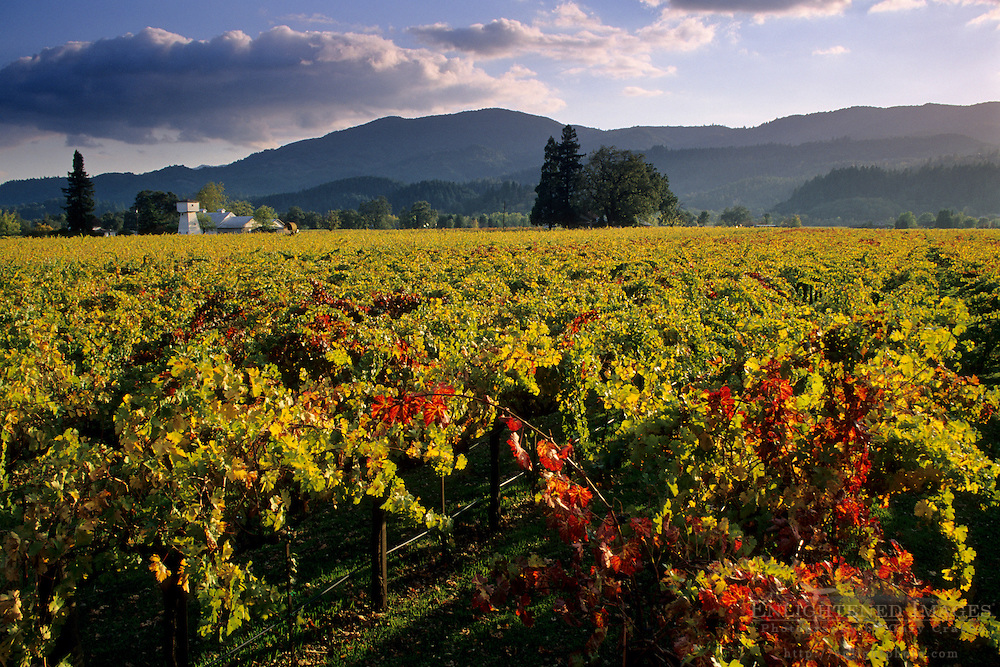 Sunset and vineyards, near Rutherford, Napa County, California