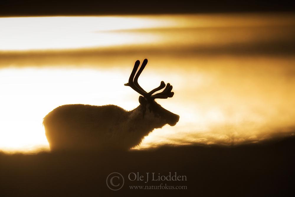 Svalbard reindeer (Rangifer tarandus) in midnight sun in Svalbard, Norway