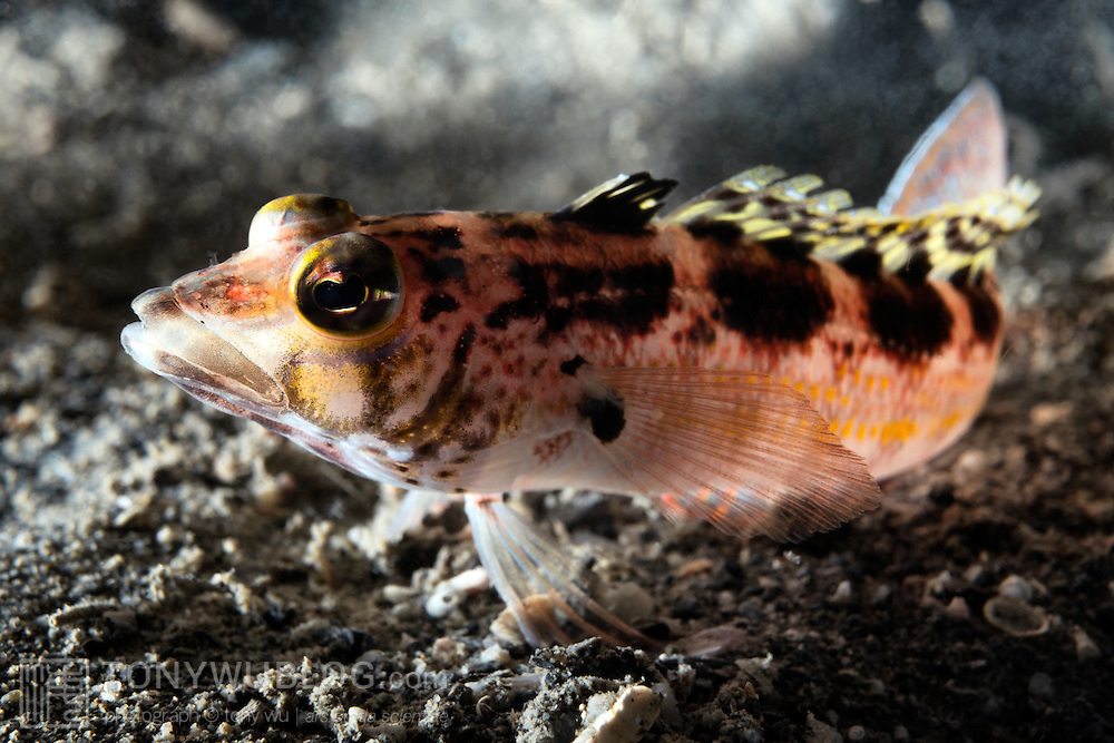 This is a harlequin sandperch (Parapercis pulchella) that rushed in to try to take the eggs of a hairchin goby (Sagamia geneionema) while I was photographing the goby and its eggs. The sandperch did not succeed, despite several attempts.