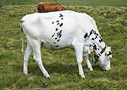 White cow. Bachalpsee, First, Grindelwald Switzerland, the Alps, Europe.