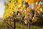 Pinot Noir harvest Tualatin Estate Vineyard for Willamette Valley Vineyard winery, Oregon