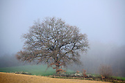 early morning fog in rural landscape with large oak tree