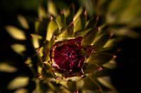 An artichoke thistle on the verge of blooming.