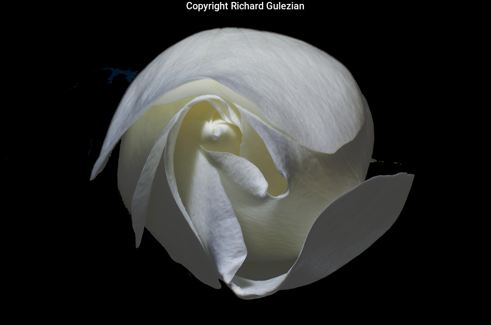 White Rose 2016<br />