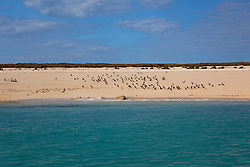 A flock of Brown boobies (Sula leucogaster) on the beach at the Lacepede Islands north of Broome.