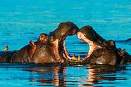 Botswana-Wildlife-Hippos