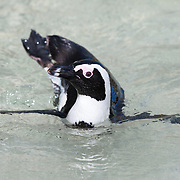 Endangered African penguin (Spheniscus demersus) swimming in shallow water