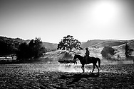 Silhouette of cowboy in black and white with cattle riding as the sun sets.