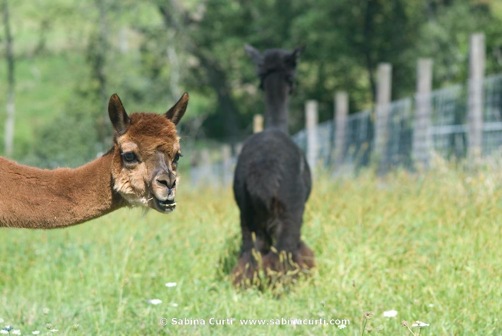 Family farm, alpaca on small sustainable family farm in Hillsdale, Columbia County, NY, New York