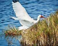White Ibis. Black Point Wildlife Drive, Merritt Island National Wildlife Refuge. Image taken with a Nikon D3s camera and 70-200mm f/2.8 lens with a 2.0 TC-E III teleconverter (ISO 200, 400 mm, f/5.6, 1/500 sec).