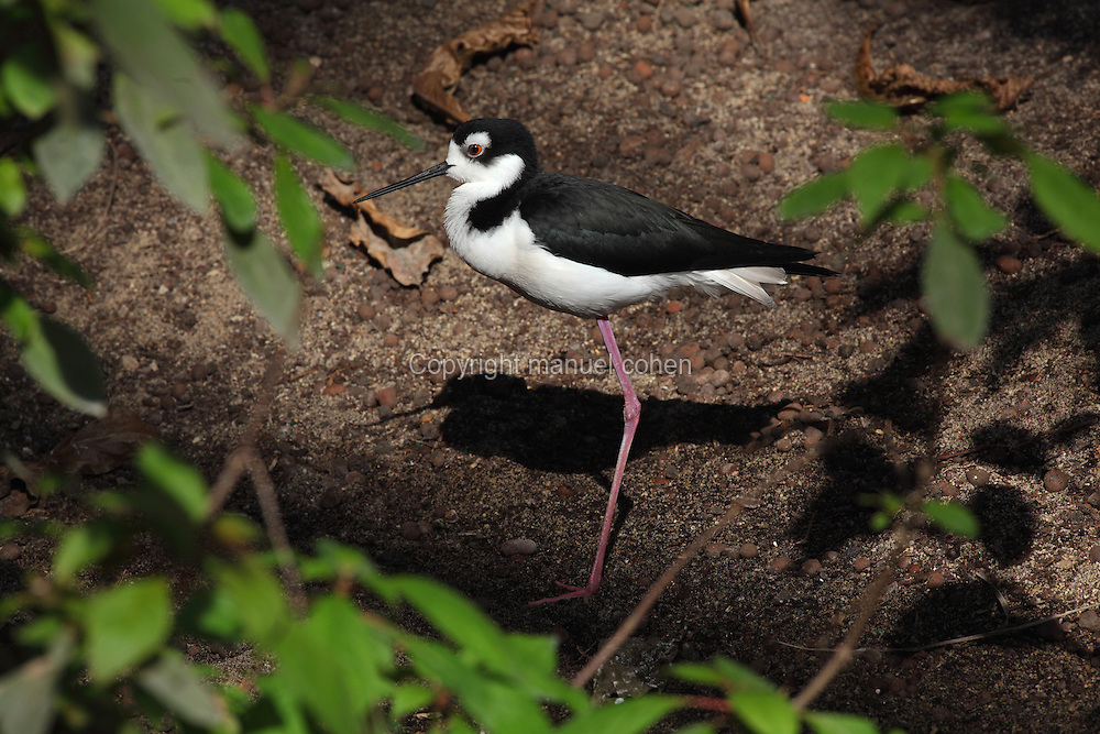 Black-necked stilt (Himantopus mexicanus) in the Grand Serre or Great Glasshouse in the Zone Guyane of the new Parc Zoologique de Paris or Zoo de Vincennes, (Zoological Gardens of Paris or Vincennes Zoo), which reopened April 2014, part of the Musee National d'Histoire Naturelle (National Museum of Natural History), 12th arrondissement, Paris, France. Picture by Manuel Cohen