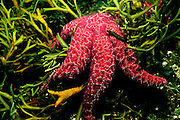 UNDERWATER MARINE LIFE EAST PACIFIC: East SEA STARS: Ochre star Pisaster ochraceous