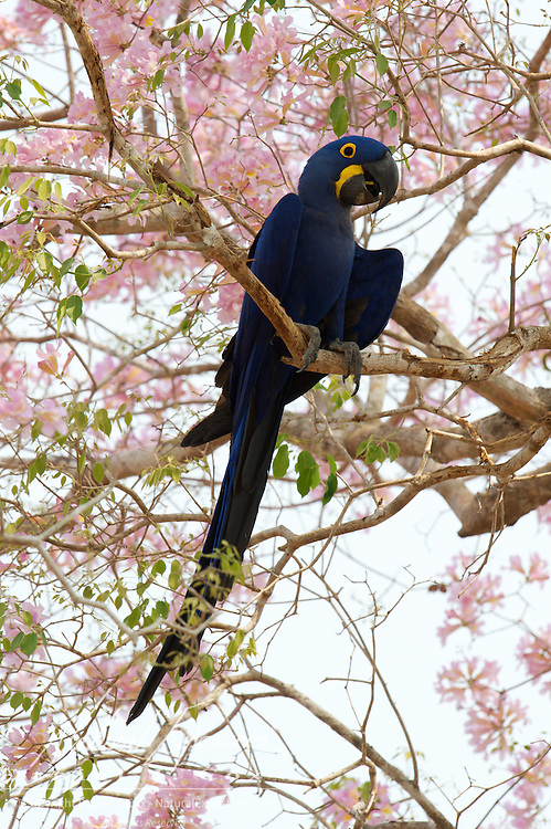 Hyacinth Macaw, Endangered Species. In flowering pink trumpet tree.  Pantanal. Brazil.