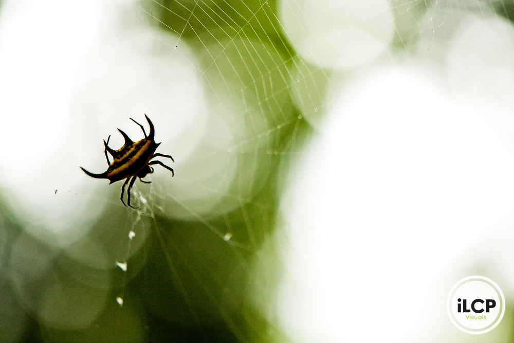 Spiny Spider (Gasteracantha sp) in web, Lope National Park, Gabon