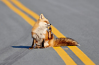 Red Fox (Vulpes vulpes), sitting in road on a sunny morning, Cresent Beach, Nova Scotia, Canada