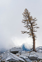 A Larch tree and low clouds in the Enchantment Lakes Wilderness Area, Washington Cascades, USA.