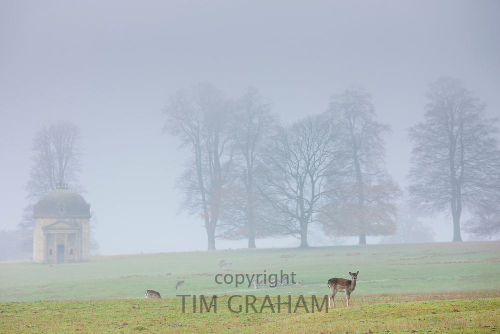 Deer in misty scene at Barrington Park near Burford in The Cotswolds, Oxfordshire, UK