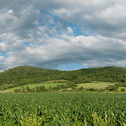 Cornfield in June, Rupert, Vermont